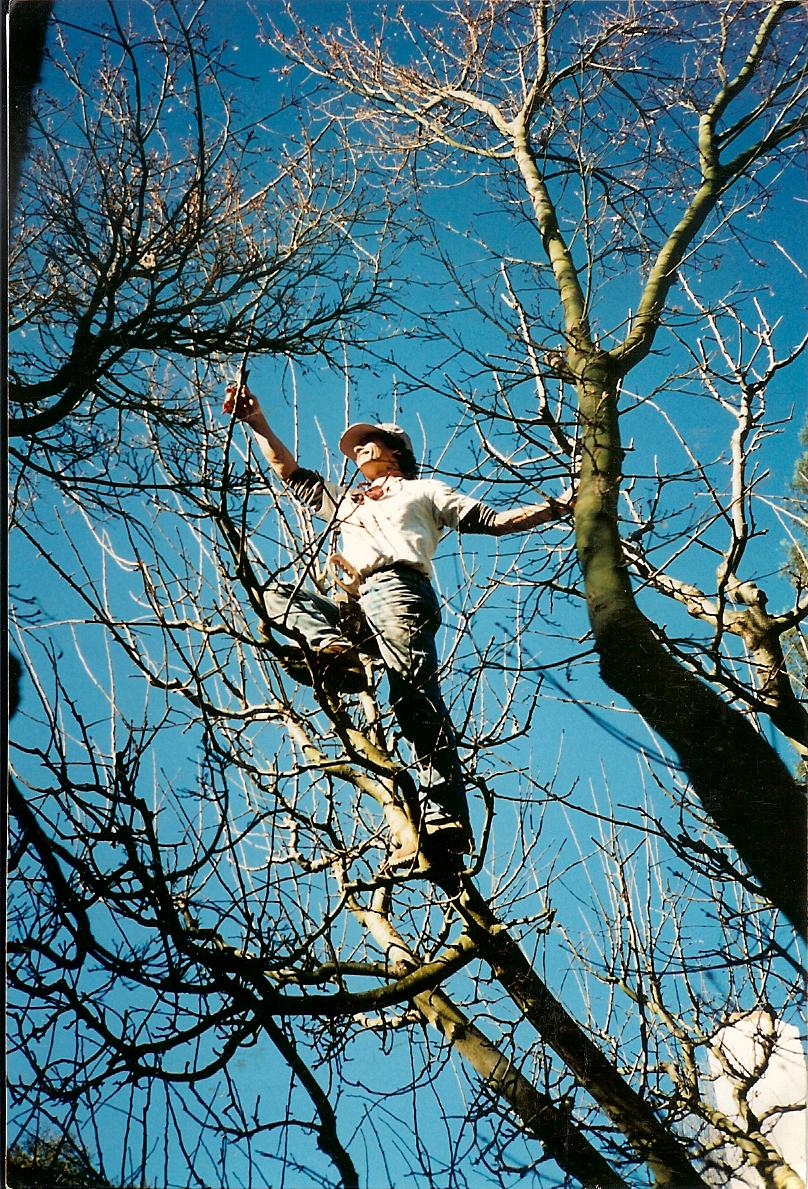 Pruning deciduous fruit trees davethegardenguy dave pruning pooptronica
